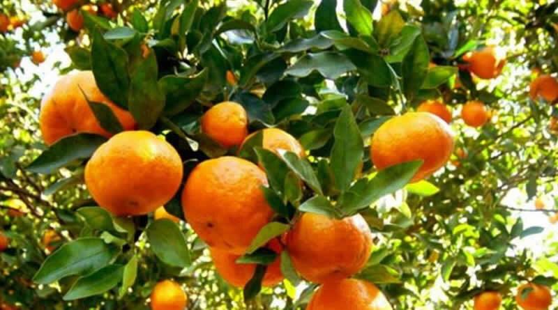 Saiba mais sobre os nutrientes da tangerina, mamão papaia e outras frutas que estão na época em junho